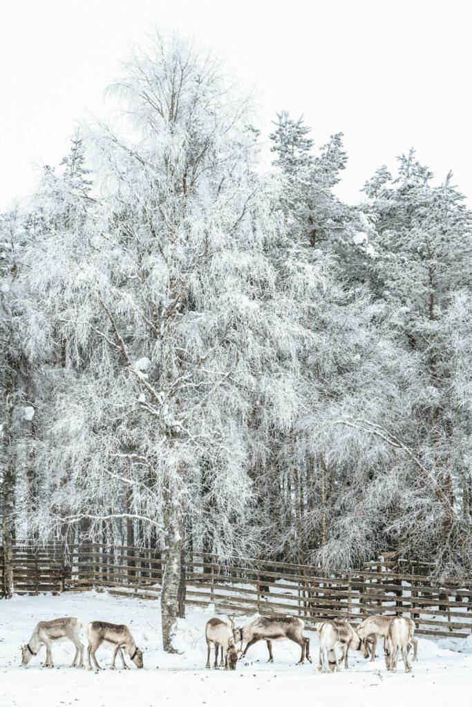 Paysage enneigé accompagné d'un groupe de cerfs en Finlande